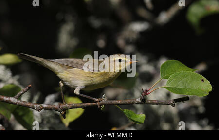 Willow warbler, Phylloscopus trochilus - Stock Photo