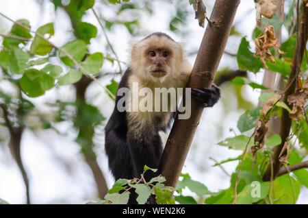 White-faced Capuchin (Cebus imitator) in Palo Verde National Park, Costa Rica