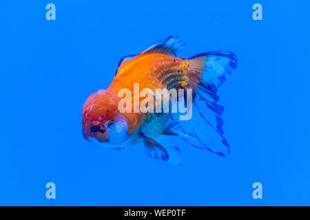 Oranda Goldfish (Carassius auratus) swimming in blue water enviroment - Stock Photo
