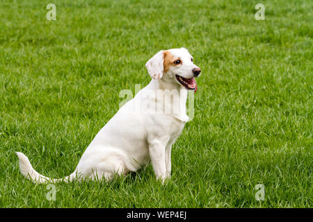 White cute non-pedigree dog sitting on the green grass - Stock Photo