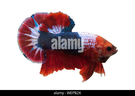 Close-up Of Siamese Fighting Fish Against White Background - Stock Photo