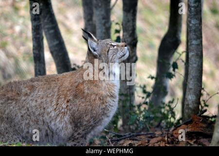 View Of Lynx In Forest - Stock Photo