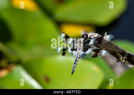 An eight-spotted skimmer (Libellula forensis) dragonfly perched on a tree branch up close showing off beautiful black and white colours in the sunshin - Stock Photo