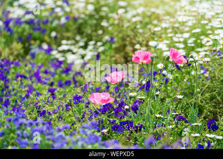 tender pink poppy flowers on the background of colorful garden - Stock Photo