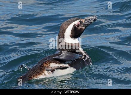 Magellanic Penguin (Spheniscus magellanicus) adult swimming in sea  Puerto Montt, Chile             January - Stock Photo