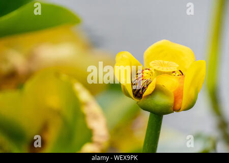 Issaquah, Washington, USA.  The single, yellow, fleshy flower of Nuphar lutea, with its prominent, lobed stigma is the best known feature.  The leaves - Stock Photo