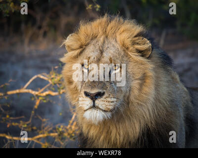 Close-up Portrait Of Male Lion With Large Mane Looking In Distance, Kruger National Park, South Africa - Stock Photo