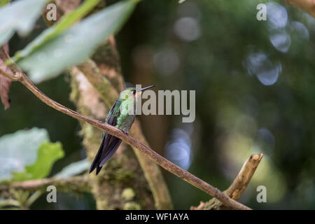 Hummingbird, Puntarenas Province, Monteverde, Costa Rica - Stock Photo