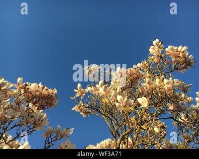 Low Angle View Of Magnolia Blossoms Against Clear Blue Sky - Stock Photo