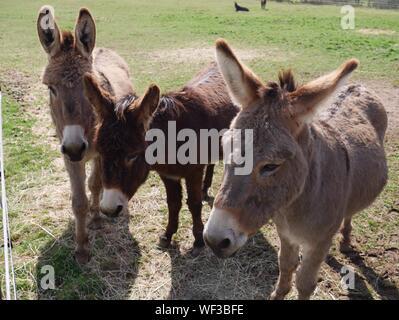 Close-up Of Donkeys On Field - Stock Photo