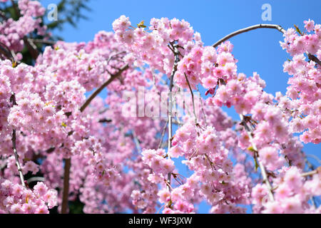Low Angle View Of Pink Cherry Blossoms Against Blue Sky - Stock Photo