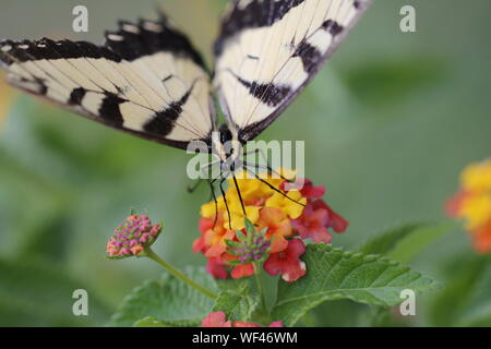 Front view of an Eastern Tiger Swallowtail Butterfly feeding on brightly colored Lantana blossoms - Stock Photo