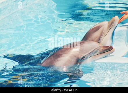 High Angle View Of Dolphins Swimming In Aquarium - Stock Photo