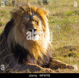 Male Lion Sitting On Field