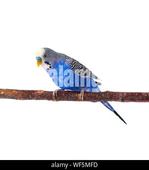 Young blue budgerigar on roost, isolated on white background - Stock Photo
