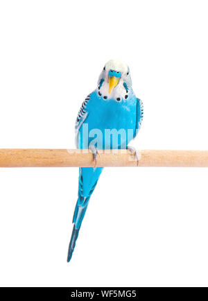 Budgie blue, isolated on white background. Budgerigar in full growth - Stock Photo