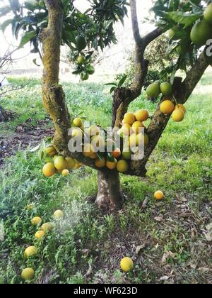 Bunch Of Oranges On Tree In Orchard - Stock Photo