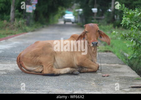 Portrait Of Cow Sitting On Road - Stock Photo