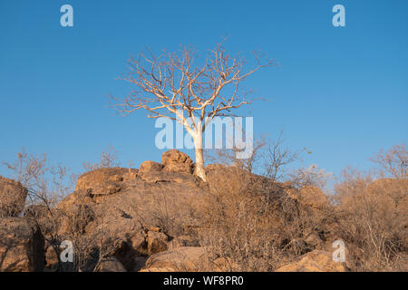 White, Leafless Large Leaved Star Chestnut Tree Growing on Rocks in Namibia, Africa - Stock Photo