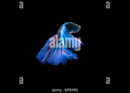 Close-up Of Siamese Fighting Fish Over Black Background - Stock Photo