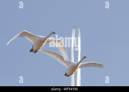 Low Angle View Of Two Swans Flying Against Distant Airplane - Stock Photo