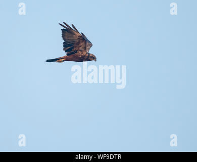 A young Marsh harrier (Circus aeruginosus) in flight over Suffolk - Stock Photo