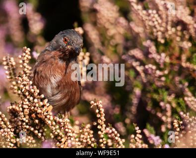 Male Dartford Warbler (Sylvia undata) perched amongst flowering late Summer, Suffolk - Stock Photo