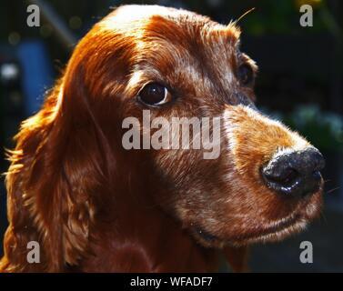 Close-up Of Irish Setter Dog - Stock Photo
