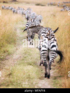 A herd of zebra follow a well worn path through the Masai Mara during the great migration in Kenya. Selective focus on the one animal who has put his - Stock Photo