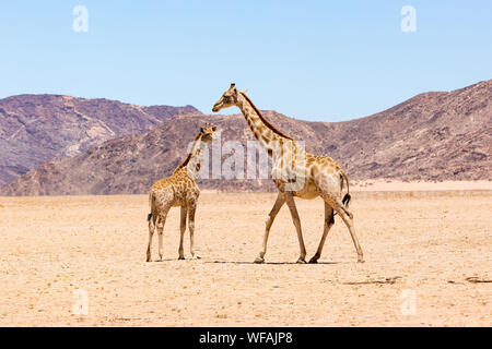Mother giraffe with her child walking through the vastness of the dry Namib Naukluft Park on a hot and sunny day, Namibia - Stock Photo