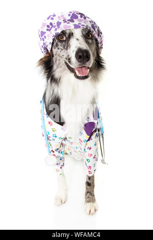border collie dog dressed as veterinarian wearing stethoscope and cap, hospital gown and cap, looking up. Isolated on white background. - Stock Photo