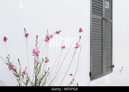 The flowering Guara 'Pink Cloud' (Gaura lindheimeri 'Pink Cloud') next to a black Sutter against the bright white wall of a building. - Stock Photo