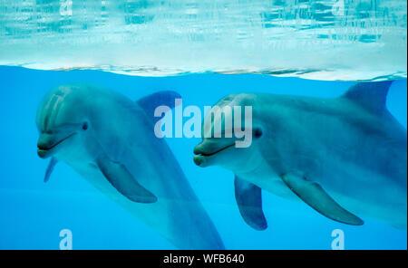 Dolphins Swimming In Aquarium - Stock Photo