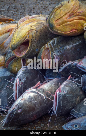 A large pile of freshly caught catfish on a pier of a tropical river. - Stock Photo
