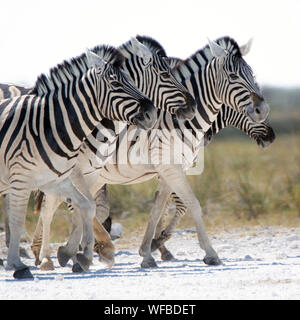 Four zebras walking in the wilderness, Etosha National Park, Namibia - Stock Photo