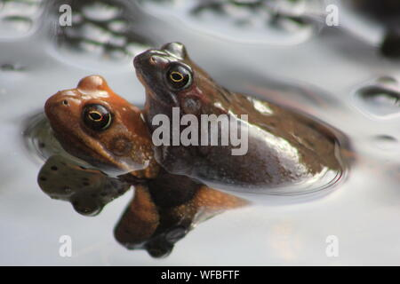 Close-up Of Frogs Mating In Pond - Stock Photo