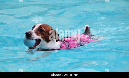 Jack Russell Terrier Carrying Ball In Mouth While Swimming In Pool - Stock Photo