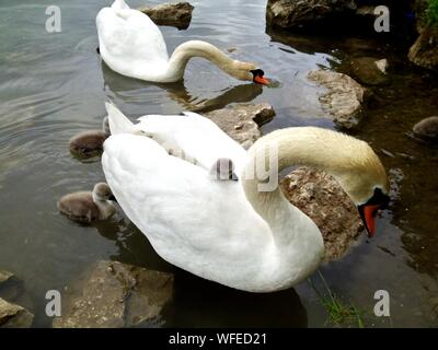 Mute Swans With Cygnets Swimming - Stock Photo