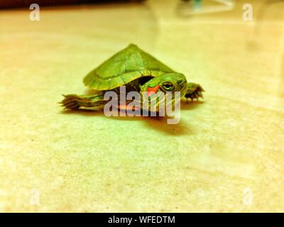 High Angle View Of Red Eared Slider Turtle On Floor - Stock Photo