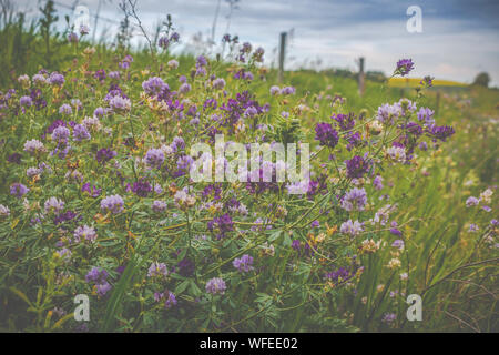 Close-up Of Purple Crocus Flowers Blooming On Field - Stock Photo