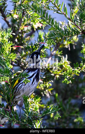 New Holland Honeyeater Feeding in Native Australian Grevillea - Stock Photo