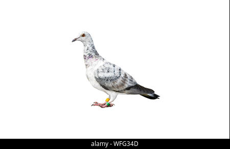 Bird of the species Italian Owl pigeon in white and black color, isolated on a white background with a clipping path. - Stock Photo