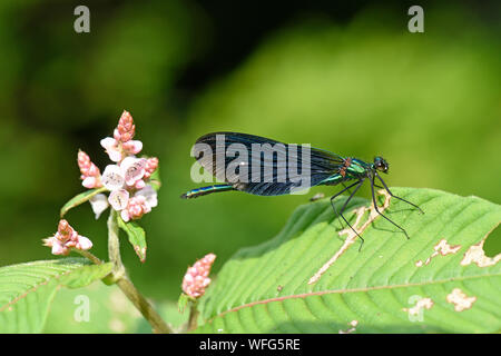 Beautiful Demoiselle (Calopteryx virgo) male resting on leaf, Monmouth, Wales, June - Stock Photo