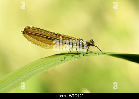 Beautiful Demoiselle (Calopteryx virgo) female resting on leaf, Monmouth, Wales, June - Stock Photo