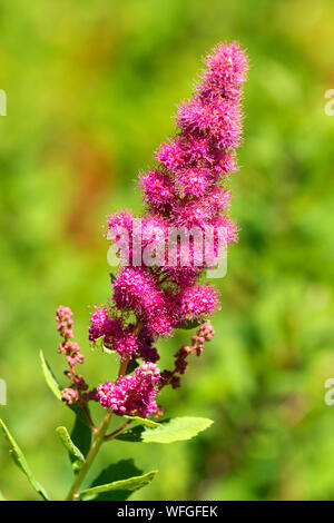 Spirea at Little Crater Meadow, Mt Hood National Forest, Oregon - Stock Photo