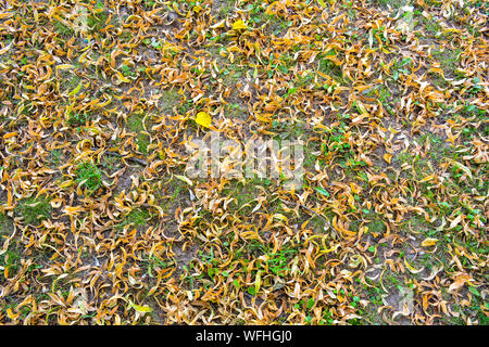 Fallen yellowed flowers of linden tree on lawn with little green grass. Medicinal linden dry flowers cover ground - Stock Photo