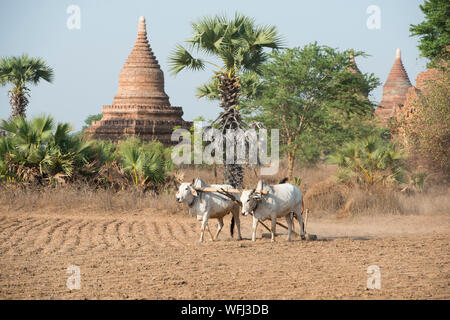 Bulls On Farm By Historic Temple Against Sky - Stock Photo