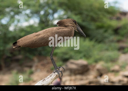 Hamerkop, Scupus umbretta, Scopidae, Lake Baringo National Park, Kenya, Africa - Stock Photo