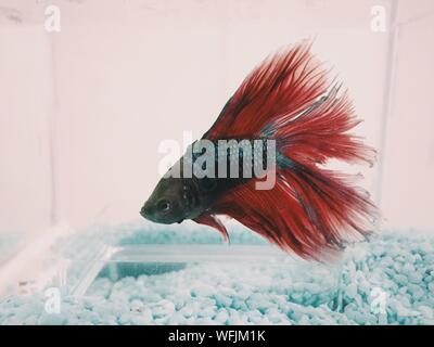 Close-up Of Siamese Fighting Fish Swimming In Tank - Stock Photo