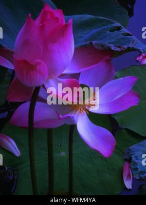 Close-up Of Pink Lotus Water Lilies Growing In Lake - Stock Photo